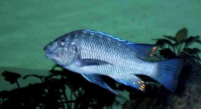 Картинки по запросу petrochromis blue giant